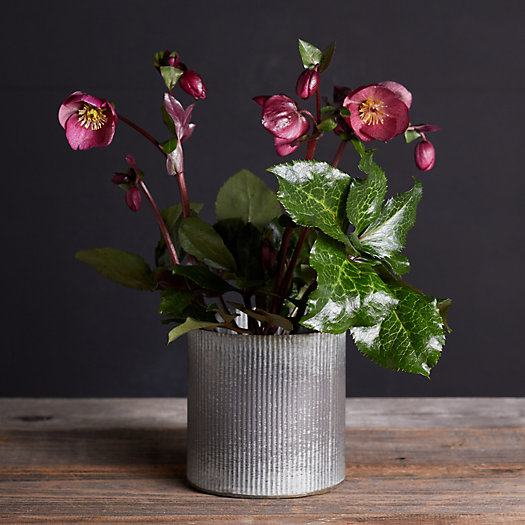 View larger image of Angel's Charm Hellebore, Metal Pot