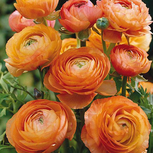 View larger image of Orange Ranunculus Bulbs
