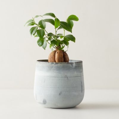 Bonsai Ficus, Metal Pot