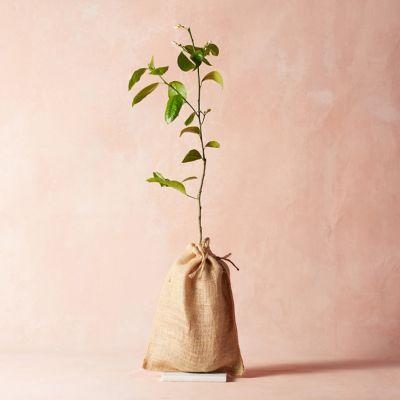 Meyer Lemon Tree, Burlap Cover
