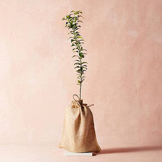 View larger image of Chinotto Sour Orange Tree, Burlap Cover