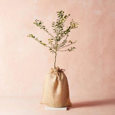 Finger Lime Tree, Burlap Cover