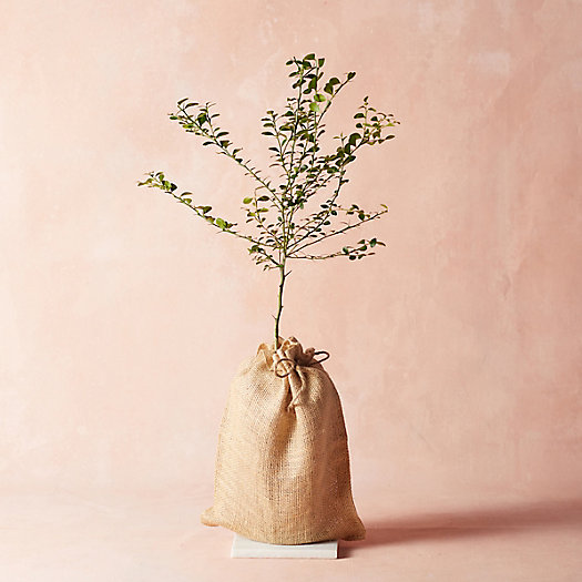 View larger image of Finger Lime Tree, Burlap Cover