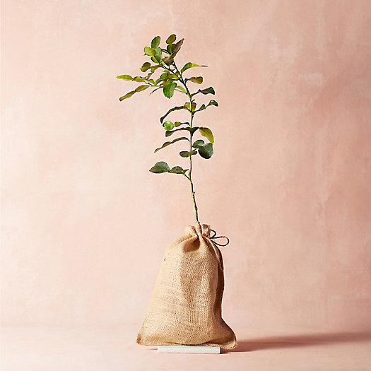 View larger image of Makrut Lime Tree, Burlap Cover