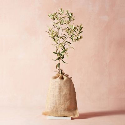 Arbequina Olive Tree, Burlap Cover