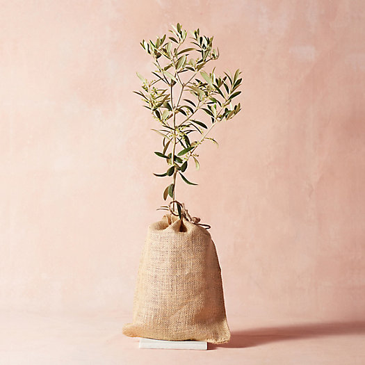 View larger image of Arbequina Olive Tree, Burlap Cover