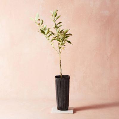 Variegated Kumquat Tree