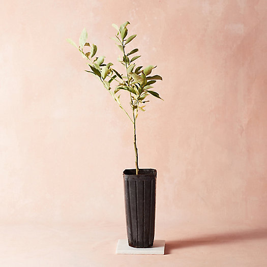 View larger image of Variegated Kumquat Tree