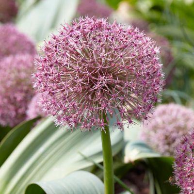Allium Red Giant Star Bulbs