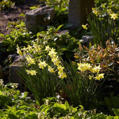 Narcissus Rock Garden Bulb Mix