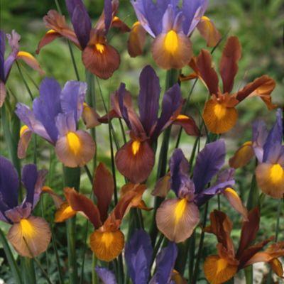 Iris Tiger Bulb Mix
