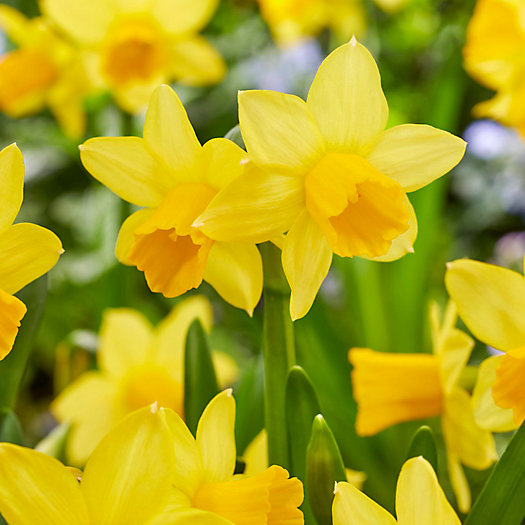 View larger image of Narcissus Tete a Tete Bulbs