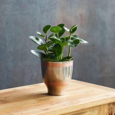 Peperomia obtusifolia, Metal Pot