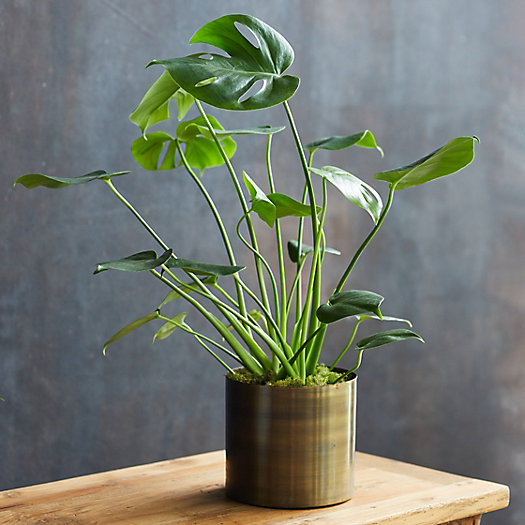 View larger image of Monstera Deliciosa, Metal Pot