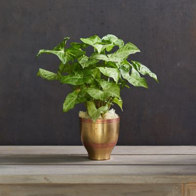 Syngonium 'White Butterfly', Etched Metallic Pot