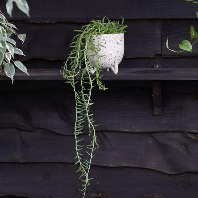 String of Fish Hooks Plant, Ceramic Pot