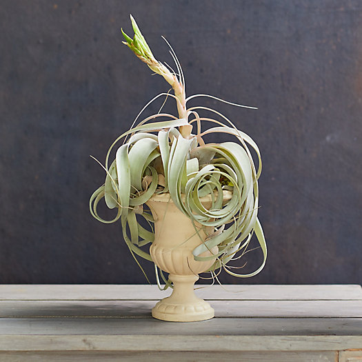 View larger image of Xerographica Tillandsia, Ceramic Urn
