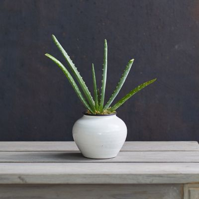 Aloe Plant, Ceramic Urn