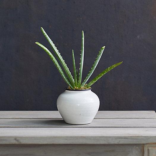 View larger image of Aloe Plant, Ceramic Urn