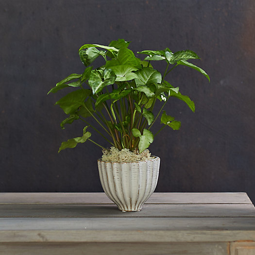 View larger image of Syngonium 'White Butterfly', Ceramic Pot