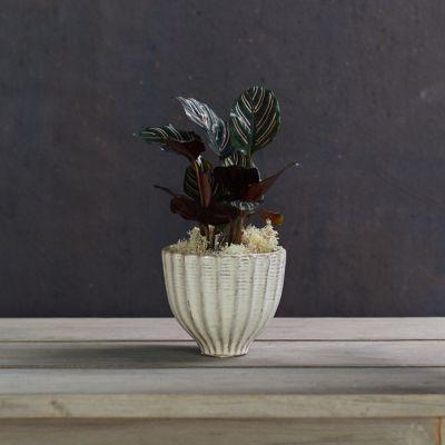 Calathea 'Ornata', Ceramic Pot
