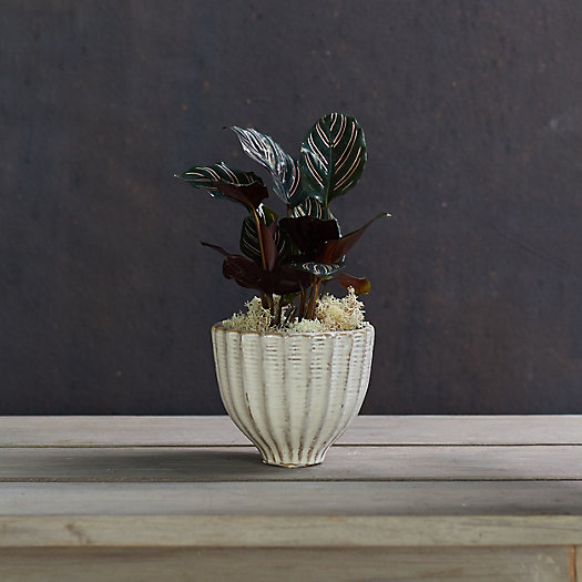 View larger image of Calathea 'Ornata', Ceramic Pot