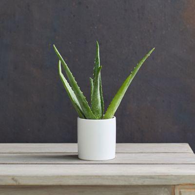 Aloe Plant, White Ceramic Pot