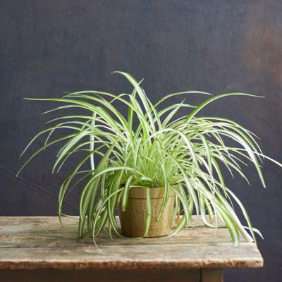 Spider Plant, Metal Pot