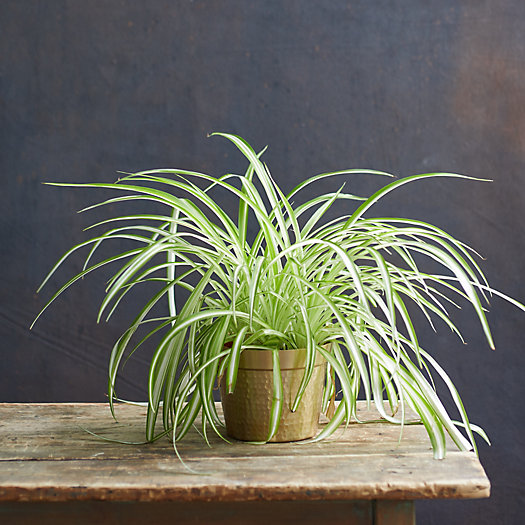 View larger image of Spider Plant, Metal Pot