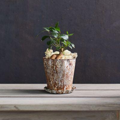 Ficus Ginseng Plant, Metal Pot