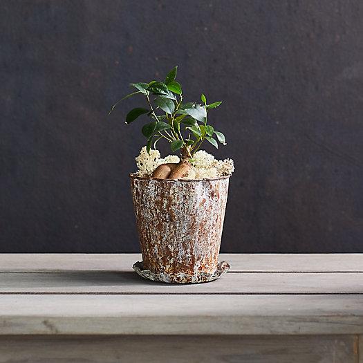 View larger image of Ficus Ginseng Plant, Metal Pot