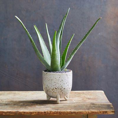 Aloe Plant, Speckled Ceramic Pot