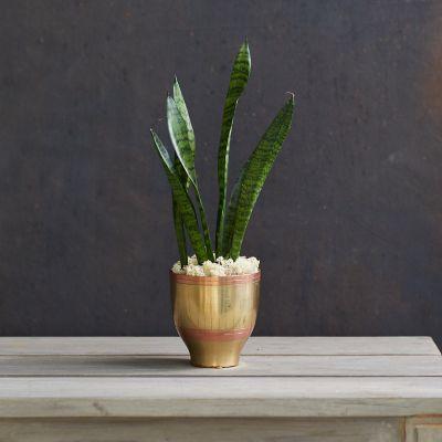 Sansevieria zeylanica Snake Plant, Brass Pot