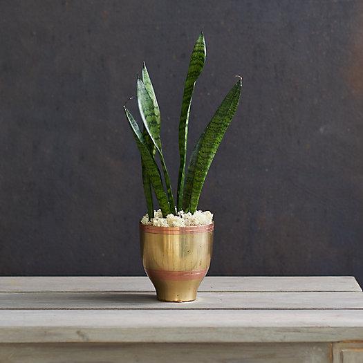 View larger image of Sansevieria zeylanica Snake Plant, Brass Pot