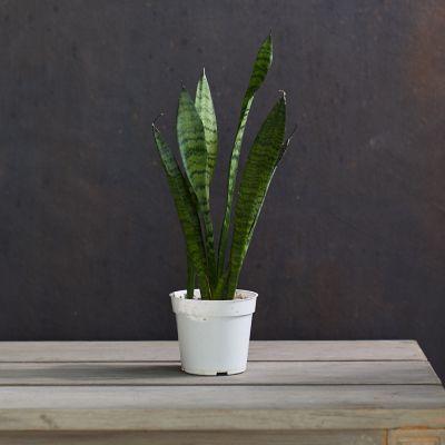 Sansevieria zeylanica Snake Plant