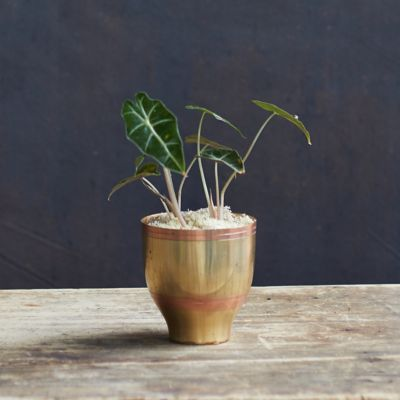 Alocasia polly, Brass Pot