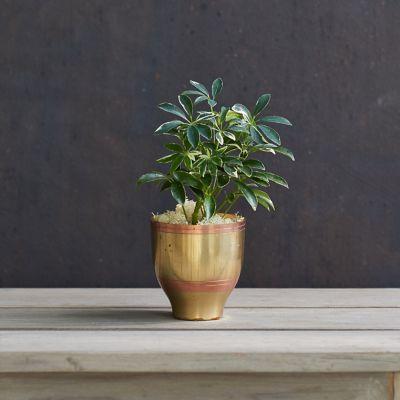 Schefflera arboricola, Brass Pot