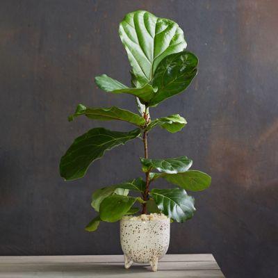 Fiddle Leaf Fig, Ceramic Pot