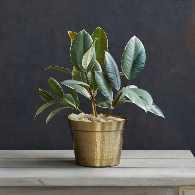 Ficus Tineke, Metallic Pot