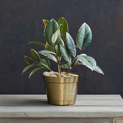 View larger image of Ficus Tineke, Metallic Pot