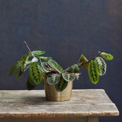 Prayer Plant, Metallic Pot