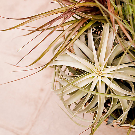 View larger image of Tillandsia Shadow Boxes